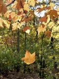 Single Leaf Falls from Tree  Autumn Foliage