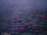 Water Lilies in Pond  Thailand