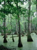 Cypress Swamp  Ms