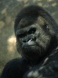 Gorilla in San Diego Wild Animal Park  CA