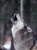 Grey Wolf Howling, Canis Lupus Papier Photo par D. Robert Franz