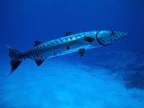 Giant Barracuda  FL