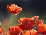 Common Poppy  Red Petals Backlit in Early Morning Light  Scotland