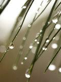 Gouttes de pluie sur les aiguilles d'une branche de pin Papier Photo par Ellen Kamp