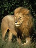 Lion  Masai Mara Game Resv  Kenya  Africa