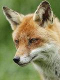 Red Fox, Portrait, Sussex, UK Papier Photo par Elliot Neep