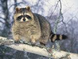 Montana  Raccoon