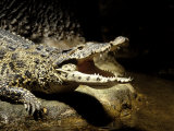Cuban Crocodile  Bronx Zoo  NY