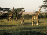 Giraffes  Masai Mara National Park  Kenya