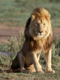 Male Lion  East Africa