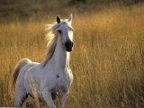 Horse Galloping  Half Moon Bay  California