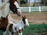 One Day Old Horse with Mother