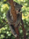 Koala Sleeping in a Tree  Australia
