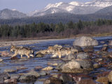 Wolves in Stream with Rocks  MT