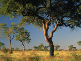 Acacia Trees  Kruger National Park  South Africa