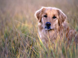 Golden Retriever in Field  Summit County  CO