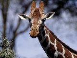 Reticulated Giraffe  Kenya