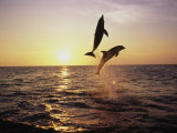 Bottlenose Dolphins in Mid-Air Papier Photo par Stuart Westmorland