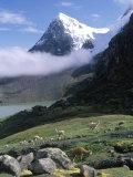 Mt Ausangate in Rear with Alpacas in Valley  Peru