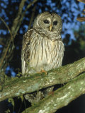 Florida Barred Owl  Strix Varia Georgica