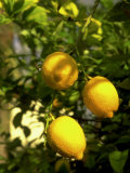 Lemon Tree  Phoenix  Arizona