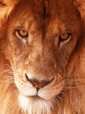 Close-up of Lion's Face