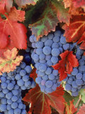 Zinfandel Grapes on Vine with Gold Fall Foliage  CA