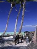 Horses  Playa Juanillo  Dominican Republic