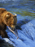 Grizzly Bear with Salmon  Brooks Falls  Katmai  AK