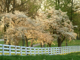 Dogwood Trees at Sunset Along Fence  Kentucky