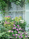 Summer Window Box  Petunia  Osteopermum  Window  Shutter  Lace Curtain