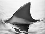 Aileron de requin Papier Photo par Howard Sokol