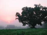 Foggy Sunrise and Oak Tree