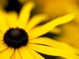 "Rudbeckia ""Deamii "" Close-up of Yellow Flower Head"