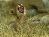 A Small Lion Cub Raises its Head into the Air and Yawns