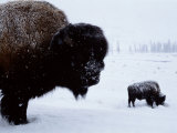 Bison in the Snow Papier Photo par Joel Sartore
