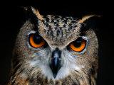 Close-up of an Owl Papier Photo par Joel Sartore