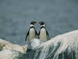A Pair of Humboldt  or Peruvian  Penguins on a Rocky Shore