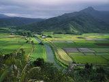 Taro Grows Along the Hanalei River
