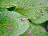 Pink Flower Petals Resting on Dew Drenched Hosta Leaves
