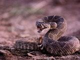 Diamondback Rattlesnake (Crotalus Atrox)