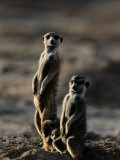 Suricates Stand Alert to Danger with Their Young at Their Feet Papier Photo par Chris Johns