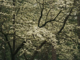 Delicate White Dogwood Blossoms Cover a Tree in the Early Spring