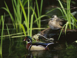 A Male Wood Duck Swims Past its Mate Perched on a Log