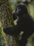 A Young Gorilla Climbs a Tree in the Virunga Mountains of Rwanda