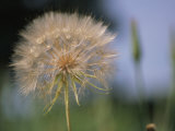 A Close View of a Dandelion Seed Head