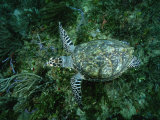 An Endangered Hawksbill Turtle Swims Along the Sea Floor