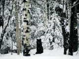A Gray Wolf Sitting in the Midst of a Snowy Landscape Papier Photo par Joel Sartore