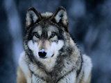 Loup gris au Centre international des loups, près d'Ely (États-Unis) Papier Photo par Joel Sartore