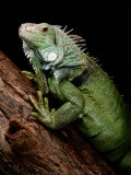 Green Iguana  Also Known as the Common Iguana